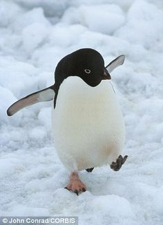 An Adelie penguin walking on the ice in Antarctica. Climate change is killing worrying amounts of birds