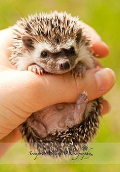 Baby Hedgehog...too cute