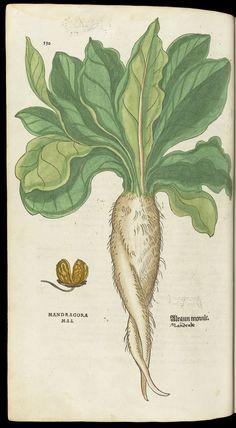 Afbeeldingsresultaat voor mandragora plant