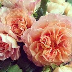 Judys Cottage Garden: Tea Rose Verus Hybrid Tea Roses http://judyscottagegarden.blogspot.com/2013/07/tea-verus-hybrid-tea-roses.html