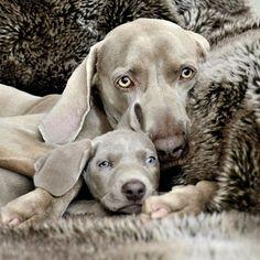 Veja Estes Lindos Cães e Suas Cópias Fiéis...