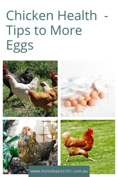 We have all you information and tips to keep chickens happy and healthy Farm Fun, Farm Animals, Your Pet, Health Tips, Chicken, Pets, Friends, Healthy, Happy