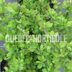 image de Berberis thunbergii Emerald Carrousel Detaille, Carousel, Emerald, Herbs, Photos, Image, Gardens, Shrubs, Plants