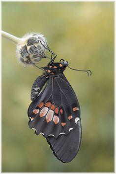 Papilio palinurus |Stunning!