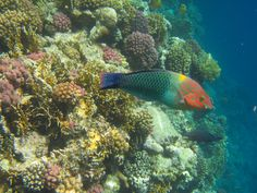 Egypt: So many beautiful fish to see at the reef in front of the Magic Life Kalawy, Safaga.