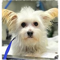 Los Alamitos, CA- *puppy*  - Westie, West Highland White Terrier. Meet Amina, a for adoption. https://www.adoptapet.com/pet/19808656-los-alamitos-california-westie-west-highland-white-terrier-mix