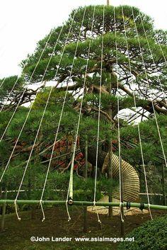,pine japan
