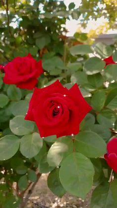 Good Morning Flowers Gif, Good Morning Beautiful Pictures, Beautiful Flowers Images, Beautiful Nature Pictures, Beautiful Flowers Wallpapers, Rose Flower Pictures, Red Rose Flower, Butterfly Flowers, Flower Images