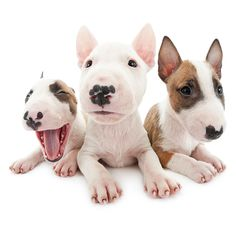 Artlist Collection THE DOG (Bull Terrier)