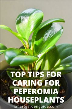 Peperomia Are Wonderful Plants To Grow Indoors As They Have So Many Features That Make Them Ideal Houseplants. They Have An Amazing Variety Of Beautiful Foliage And Tolerate A Wide Range Of Growing Conditions. Find out About Peperomia Plant Care At Smartg Smart Garden, Garden Care, Mini Plantas, Peperomia Plant, Plant Cuttings, Decoration Shabby, Growing Plants Indoors, House Plant Care, Garden Guide
