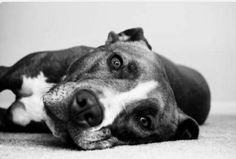 The love of a pit bull. Unconditional