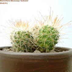 Mammillaria Microcarpa 'Grahamii'