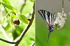 The larvae of these black-and-white-striped butterflies develop on pawpaw plants. Click to see more of this online Opinion feature. (Photos: Randy Harris for The New York Times, left; Douglas W. Tallamy, right)