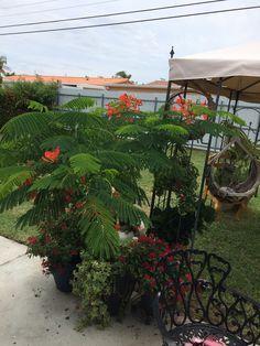 1000+ images about Frambollan en bonsay on Pinterest