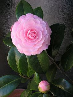 FLORES DE INVIERNO: CAMELIAS -- in my garden, looks like a rose when I blooms