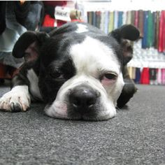I'm a huge @ProjectRunway fan.. and also a huge fan of SWATCH, the dog at @Moodfabrics!