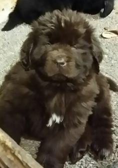 Chevy... Brown Newfie 7 wks old NEWFOUNDLANDS