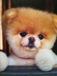 Boo, the world's cutest dog!