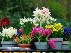 spring bulbs. So pretty! Tulips  hyacinths and amaryllis! #containergardening #smallspaces