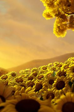Sunflowers android wallpaper