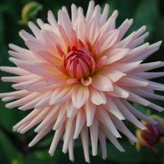 Dahlia 'Preference': Semi-cactus type with well-shaped flowers of softest peach. Macro Flower, Dahlia Flower, Flower Pots, Natural Forms Gcse, Natural Form Art, Flowers Nature, Beautiful Flowers, Cactus Types, Flower Shower
