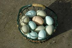 The Ameraucana's true blue egg compared to the Easter Egger's olive/green/turquoise eggs.