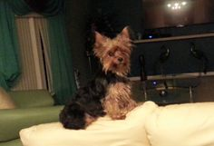 Lost Dog - Yorkshire Terrier Yorkie - Kissimmee, FL, United States