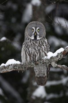 Owl Stock Photos & Owl Stock Images - Page 105 - Alamy Finland, Husky, Birds, Stock Photos, Owls, Illustration, Animals, Image, Rain Fall