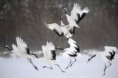Japanese Crane Art   From the Agencies: Japanese red-crowned cranes in blustery conditions ...