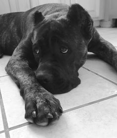 Discover the quickest and easiest way to an obedient dog with Doggy Dan's FREE 4 part video series. Cane Corso Kennel, Cane Corso Mastiff, Cane Corso Dog, Big Dogs, Cute Dogs, Beast Friends, Baby Animals, Cute Animals, Puppy Breeds