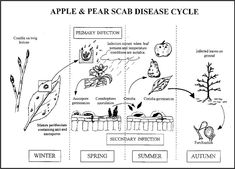 Figure 4 Apple and Pear Scab Disease cycle