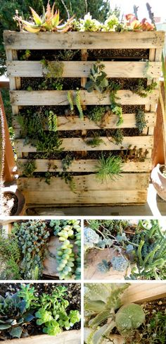 Succulent Wall - one year later. How to plant and grow your #succulents vertically in a pallet