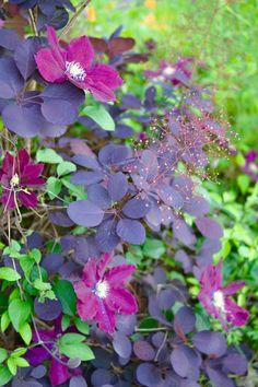 Clematis growing through smoke bush Cottage Garden Plants, Garden Shrubs, Shade Garden, Clematis, Gothic Garden, Trees And Shrubs, Small Shrubs, My Secret Garden, Outdoor Plants