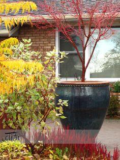 Winter Pot with Acer palmatum 'Sangokaku', Japanese blood grass Imperata cylindrica 'Rubra', and Rhus typhina 'Tiger Eyes'   #eTilth.com