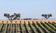 Vinhos do Alentejo colocaram no mercado 55 milhões de litros de vinho no 1º semestre de 2016