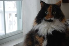 My beautiful calico cat. one of a kind. - lovely and so fluffy -LW