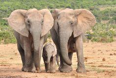 slonie-bez-ciosow.jpg (1000×675)