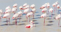 Flamingos' built-in tricks for balance might have a thing or two to teach standing robots or prosthesis makers someday.