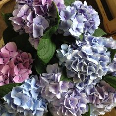Hydrangea...Magical Crystal, blues, lilacs and pinks all in one bunch. Sold in…