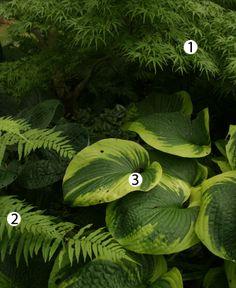 Combos for Shade - 1. 'Seiryu' Japanese maple (Acer palmatum 'Seiryu', Zones 5-8) 2. Glade fern (Diplazium pycnocarpon, Zones 3-8) 3. Hosta (Hosta cv., Zones 3-9)