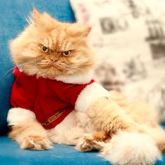 This is Garfi, a Persian cat that lives in Turkey with his human and personal photographer Hulya Ozkok. If you thought Grumpy Cat looked annoyed by everything, Garfi will show you what real annoyance and anger looks like with his resting bitch face. Cute Cats, Funny Cats, Funny Animals, Cute Animals, Angry Animals, Most Beautiful Cat Breeds, Beautiful Cats, Pretty Cats, Grumpy Cat