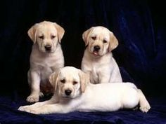 Yellow Labrador Retriever Labs