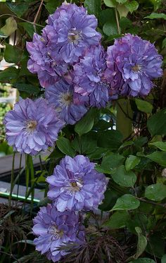 "clematis ""Vyvyan Pennell"" Think this flowers early summer as double and then again as a single"