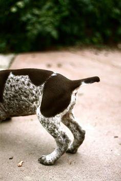 puppy pointer tail - GSP - German Shorthaired Pointer