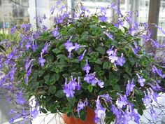 House Plants, Plants, Garden, Indoor Garden, Little Garden, Flowers, Primrose, Nature