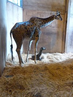Masai giraffe born at Toronto Zoo, Thursday