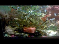 How to get beautiful collection of guppies fish All about FEEDING EP 4