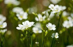 Herbal Musings | Natural Remedies, Organic Herbs, DIY Recipes | Virtual Weed Walk: Chickweed