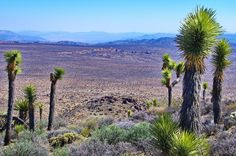 "Joshua Trees grow only in the Mojave Desert.....""The name Joshua tree was given by a group of Mormon settlers who crossed the Mojave Desert in the mid-19th century. The tree's unique shape reminded them of a Biblical story in which Joshua reaches his hands up to the sky in prayer."""