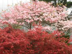 """April 11 - """"pretty in pink' - Phipps Conservatory, Japanese garden - dogwood and japanese maple"""